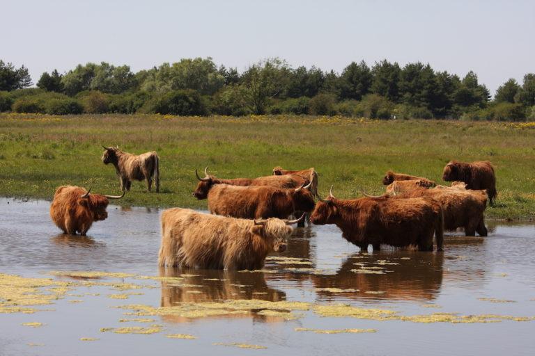 troupeau vaches baie de somme plage gîte marquenterre