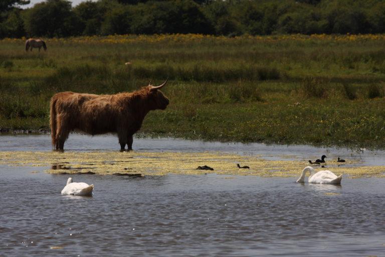 troupeau vaches cygne baie de somme plage gîte marquenterre
